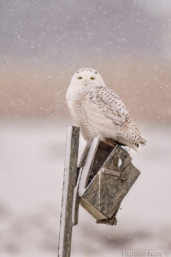 MASN046-DSC0313-Snowwy-Owl-on-Old-Bird-House-Gimbal-Mounted-800mm-Sample-Photo