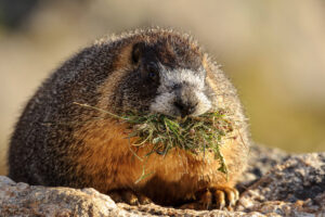 Marmot with Grass