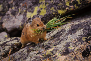 Pika with Grass