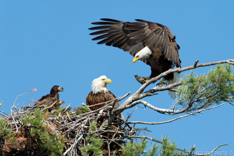 Bald Eagle Fish Delivery