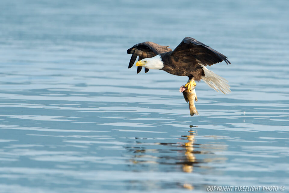 Bald Eagle low over water with fish