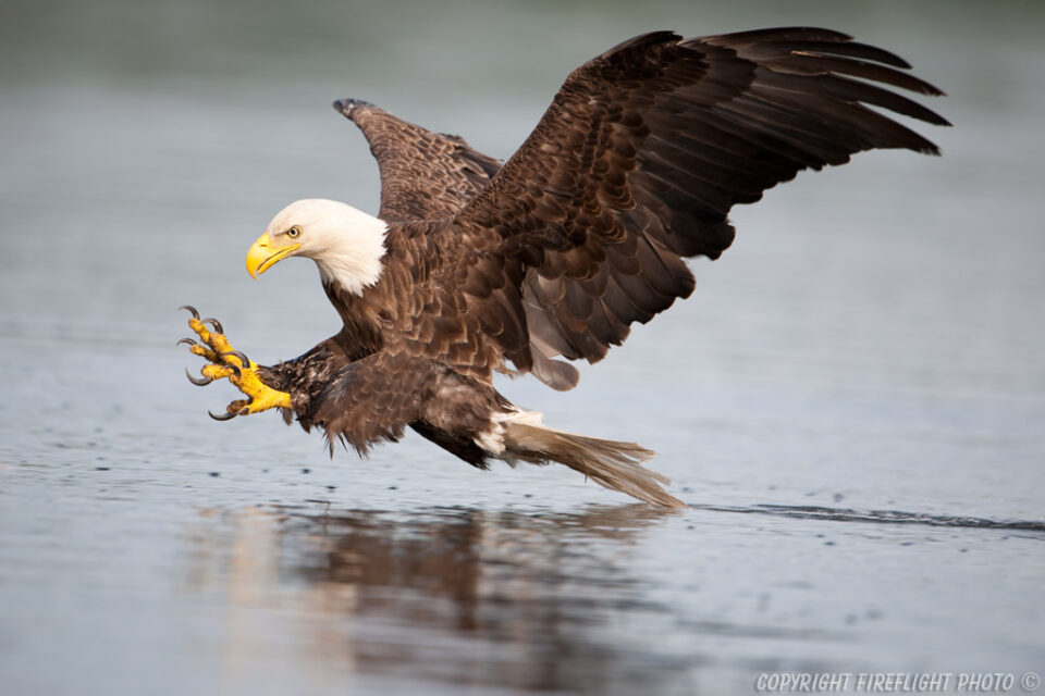 Bald Eagle Grab Pose