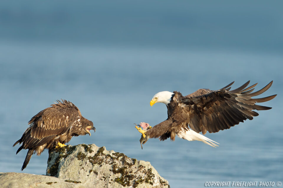 Bald Eagle bringing food to Immature Eaglet