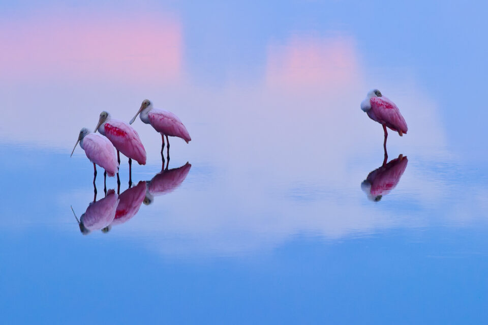Roseate Spoonbills at Sunrise