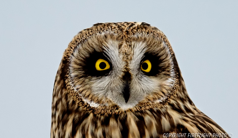 Short-eared Owl in Snag