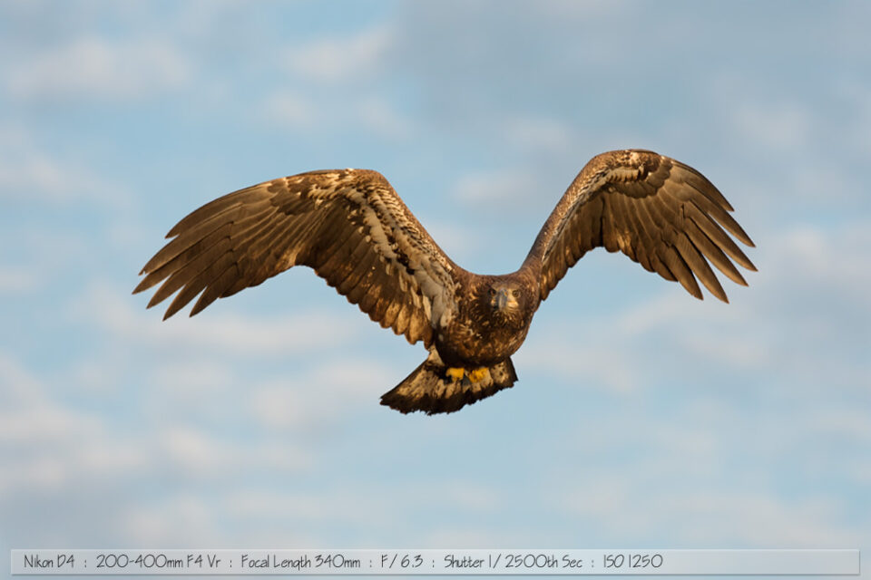 Immature Bald Eagle in Sunrise Light