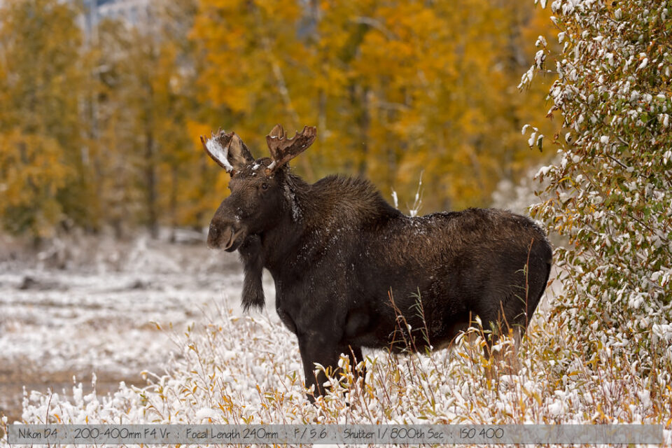 Small bull moose in snow
