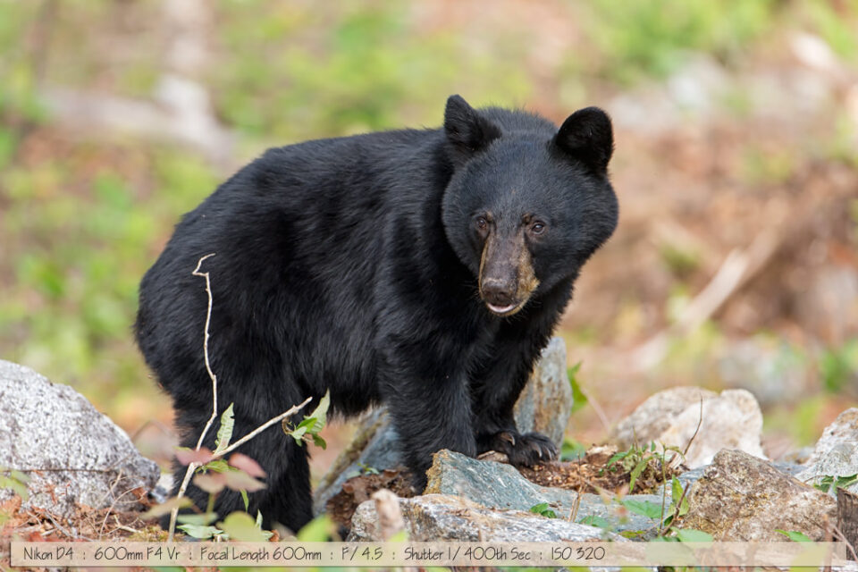 Black Bear Browsing in Rocks