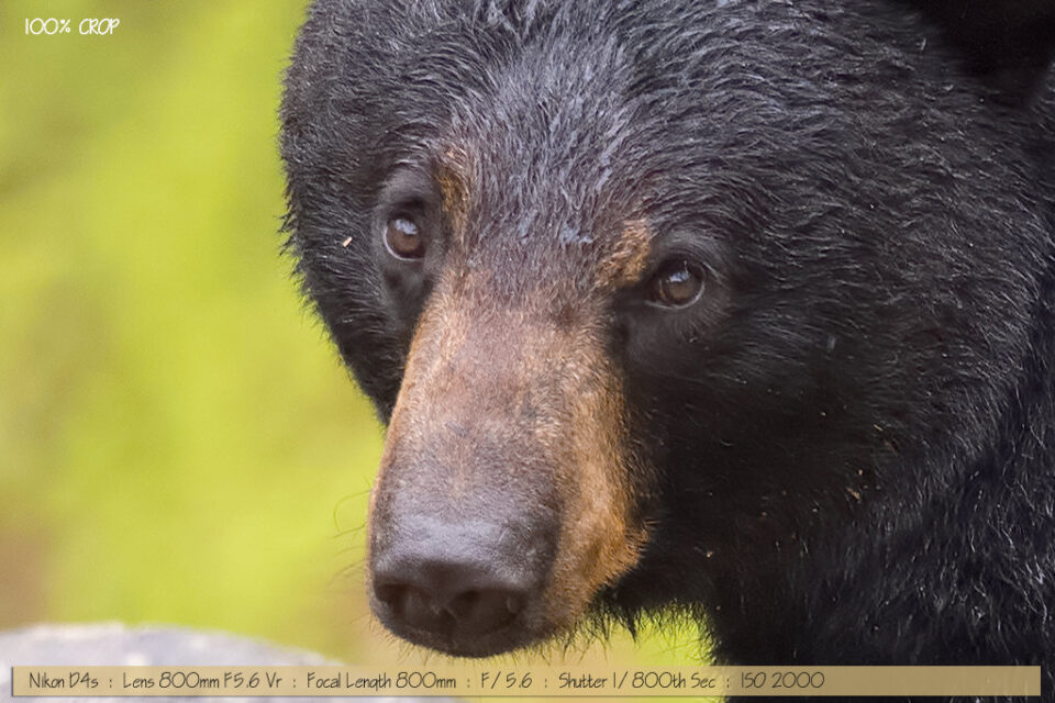 Beautiful Wet Female Black Bear