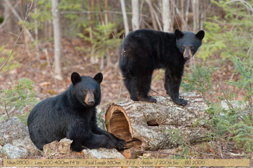 Beautiful Black Bear with Cub