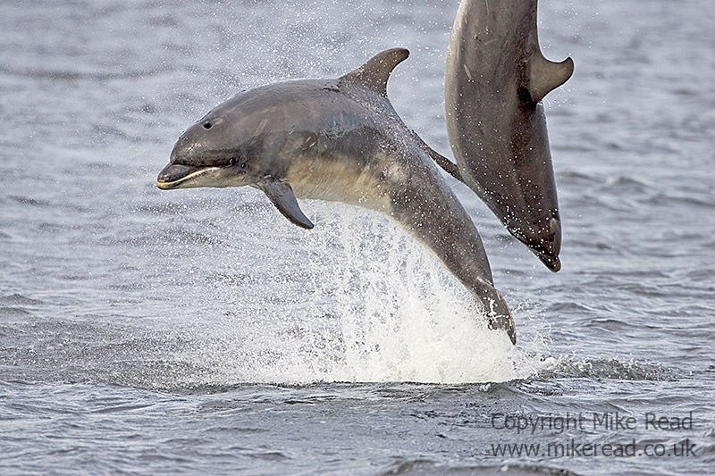 Bottle-nosed dolphin Tursiops truncatus Moray Firth Scotland