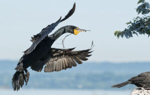 Photographing Cormorants with the Tamron 150-600mm VC