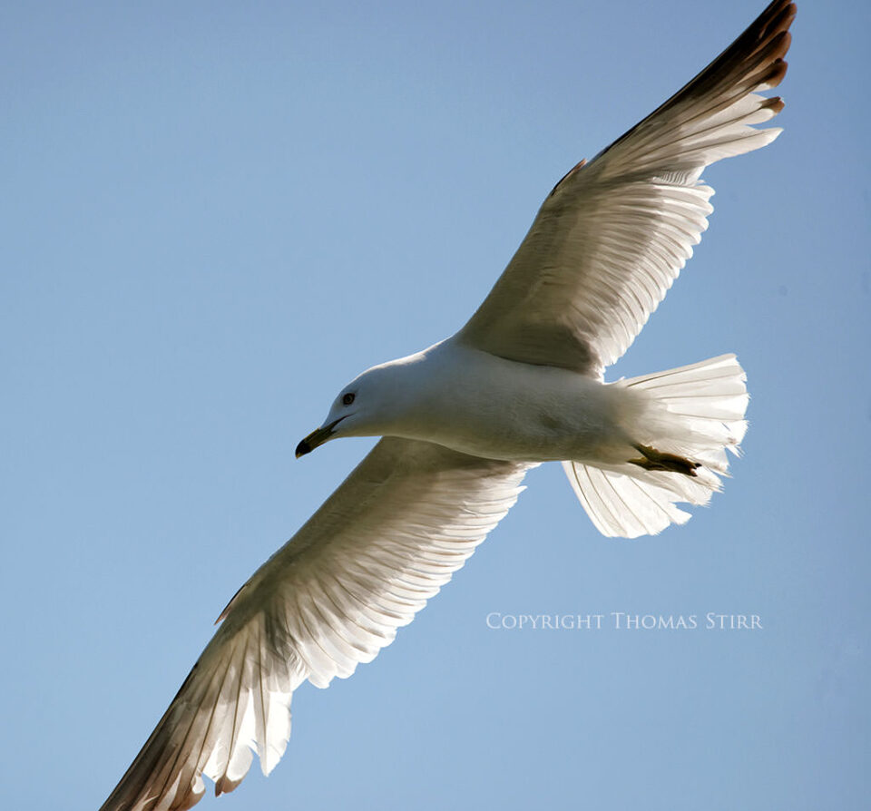 Bird in Flight #7