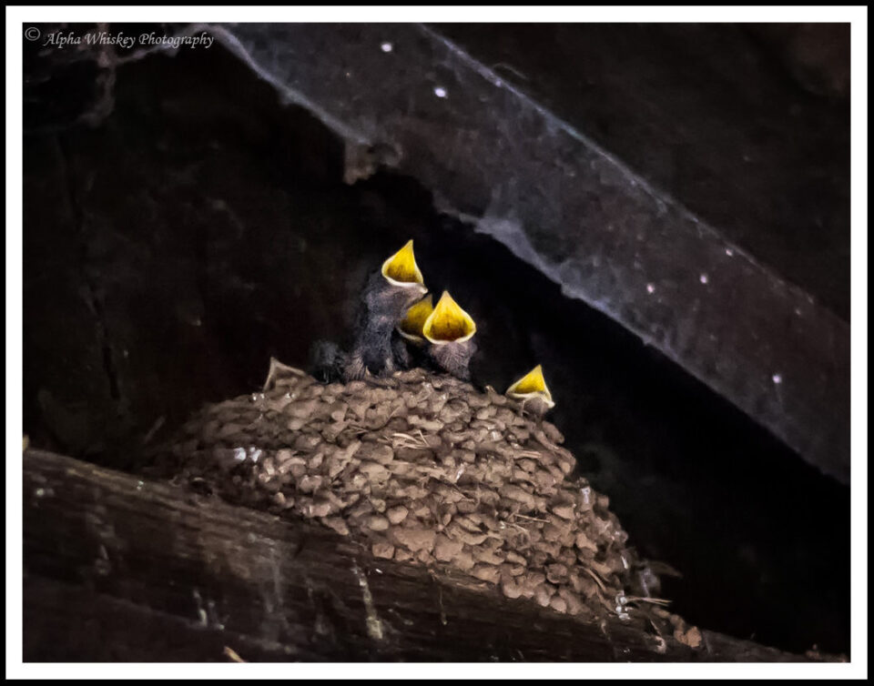 14a Swallow-Chicks