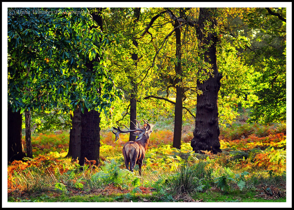 9 Stag Richmond Park