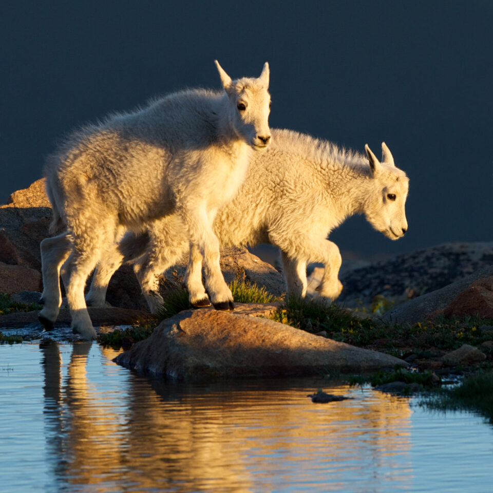 Mountain Goat Kids at Last Light