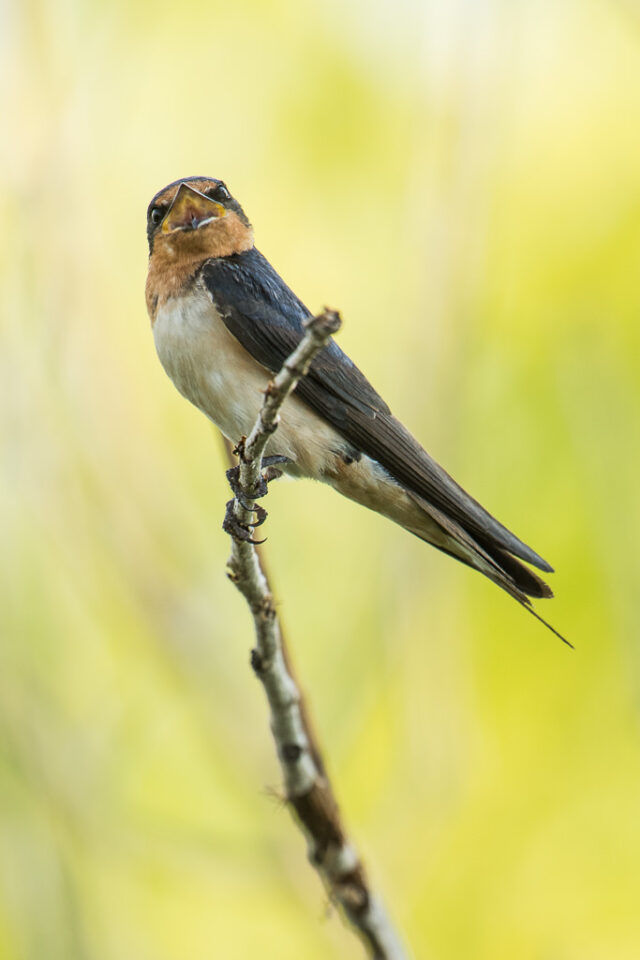 Verm-Barn-Swallow-Fossil-Creek-Res-4243