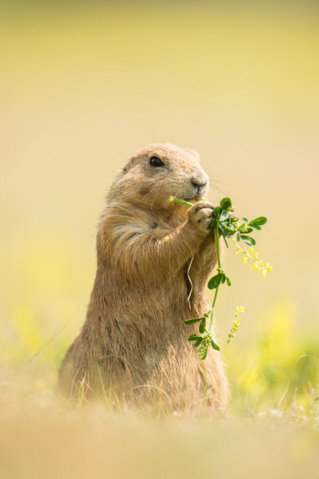 Verm-Prairie-Dog-Devils-Tower-4638