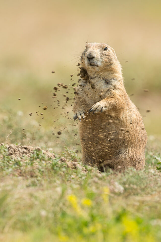 Verm-Prairie-Dog-Devils-Tower-5043
