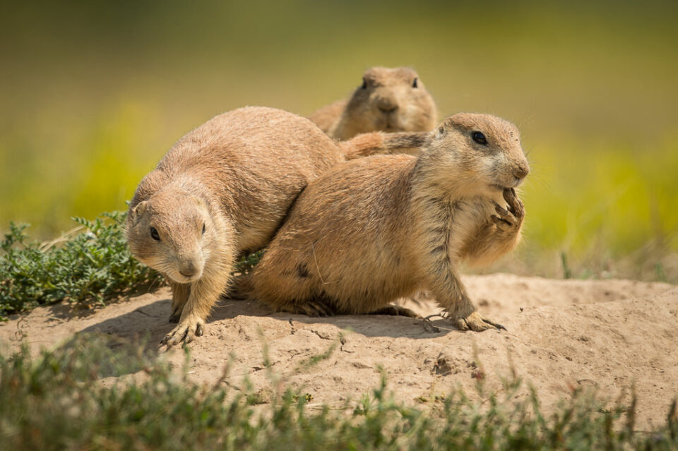 Verm-prairie-dogs-Devils-Tower-5251