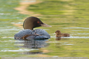 Common Loon and 3 day old Baby