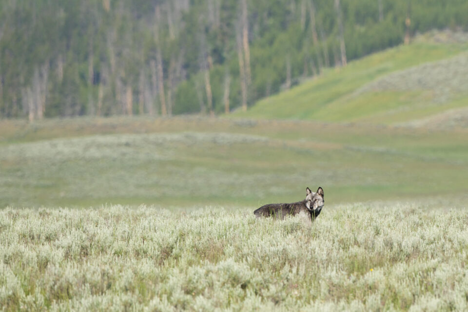 Wolf in Hayden Valley
