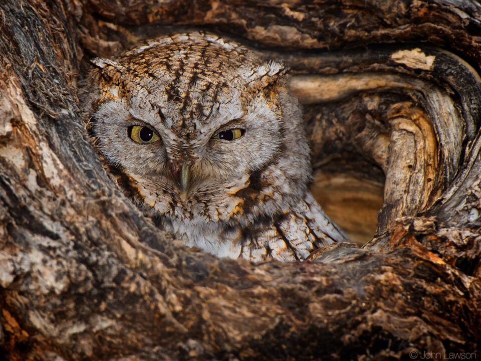 Eastern Screech-Owl ISO 400 f_8 1_250s 850mm