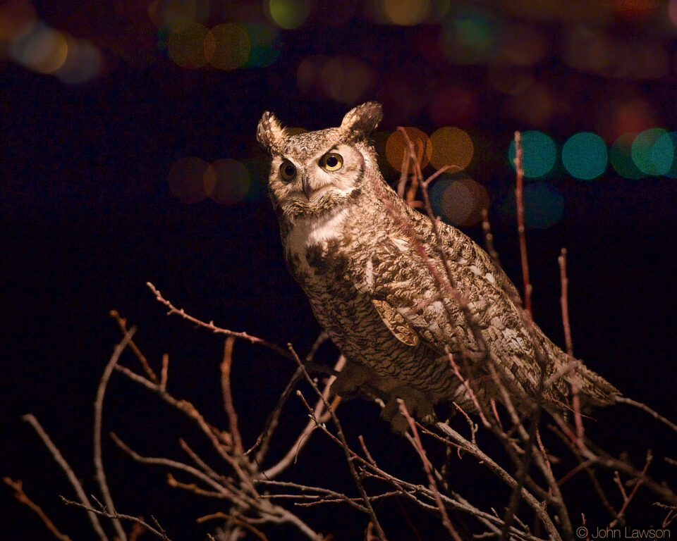 Great Horned Owl (4a) ISO 25600 f_4 1_250s 200mm No_NR