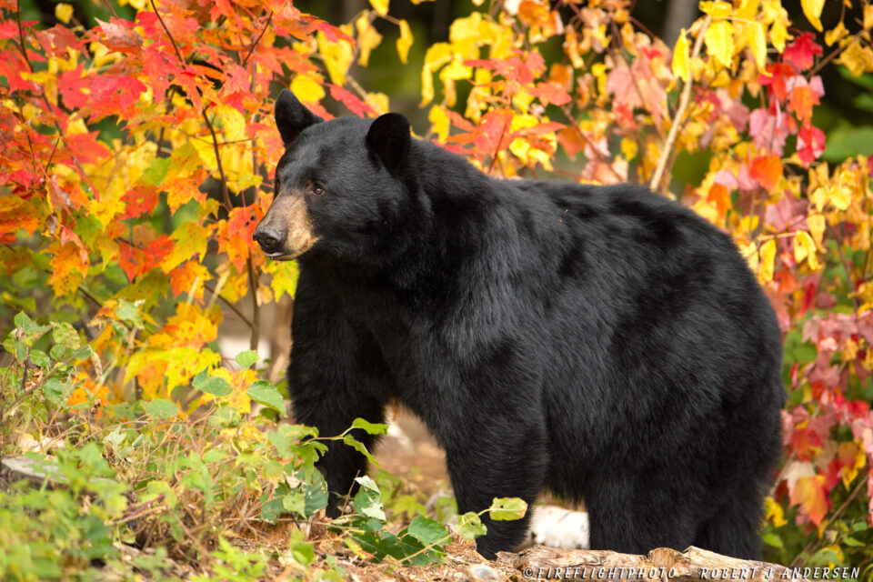 NHBB092-DSC1839-Female-Black-bear-in-Foliage-Sugar-Hill-NH-Sep-2014-D4s-600mm