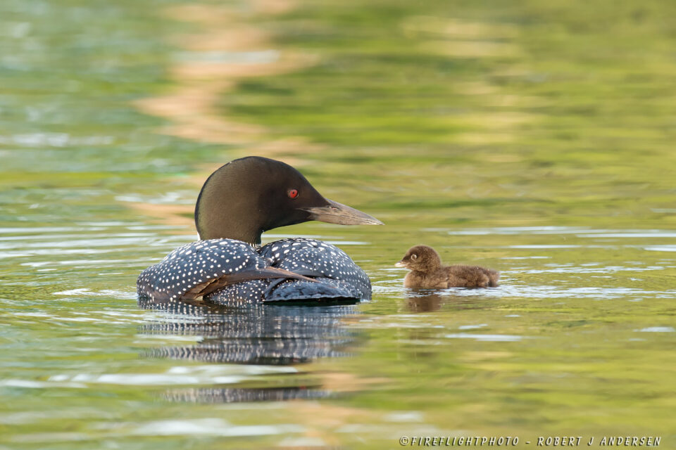NHSL010-DSC7188-Loon-Parent-Proudly-Looking-At-1-Day-Old-Baby-Squam-Lake-NH-June-2014-D4s-800mm