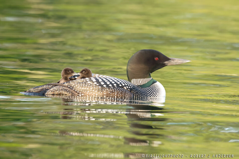 NHSL011-DSC7236-Loon-with-two-1-day-old-chicks-on-back-Squam-Lake-NH-June-2014-D4s-800mm