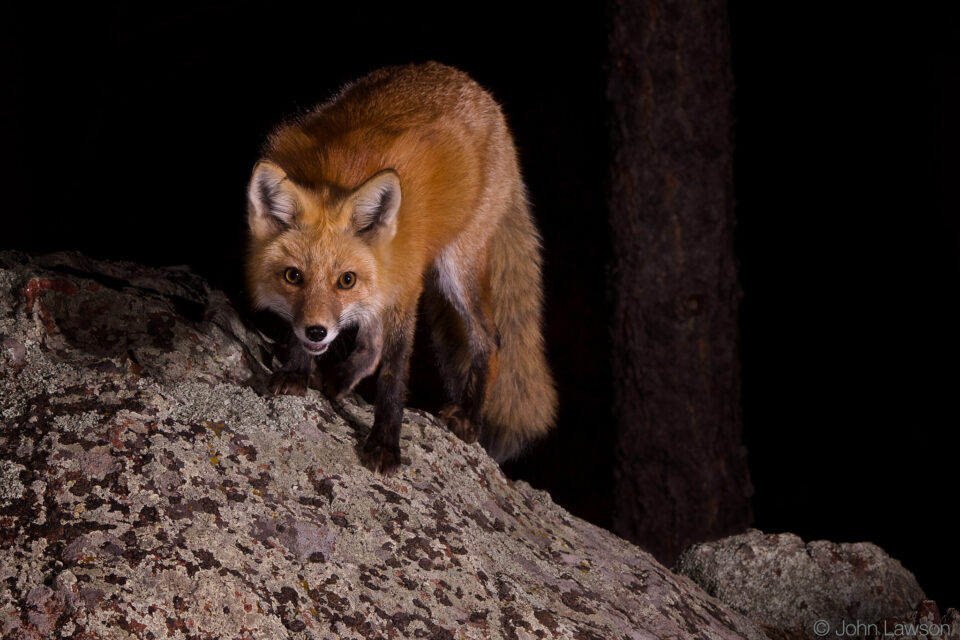 Red Fox ISO 800 f_11 1_250s 200mm