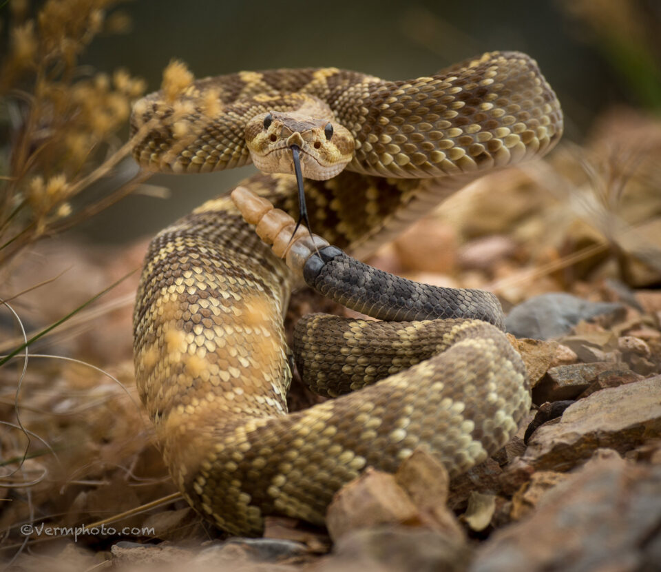 Verm-Black-tailed-Rattlesnake-Dripping-Springs-4855