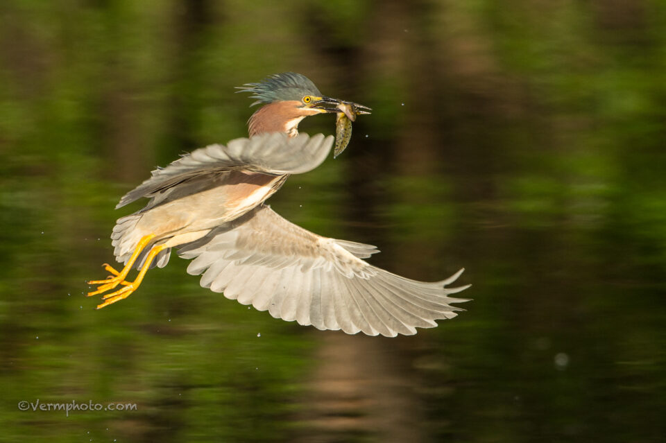 Verm-Green-Heron-Page-Springs-1992-2