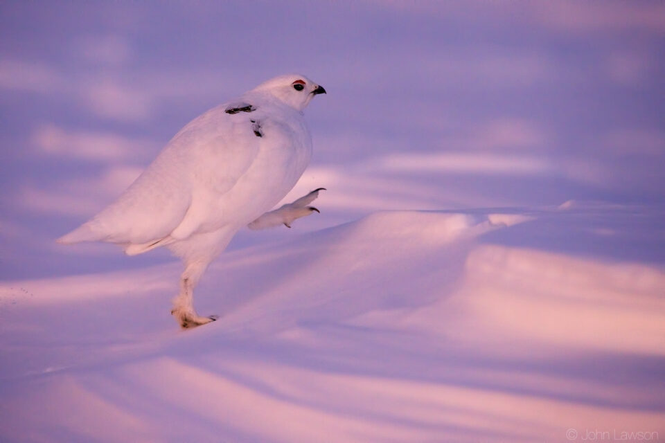 White-tailed Ptarmigan ISO 12800 f_6.3 1_1600s 400mm