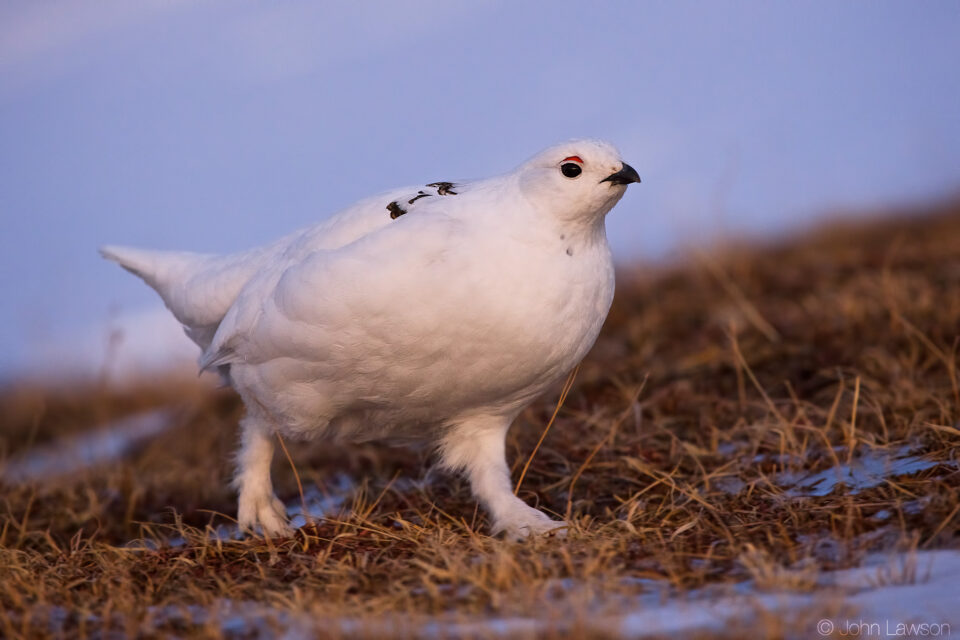 White-tailed Ptarmigan ISO 3600 f_5.6 1_1000s 400mm