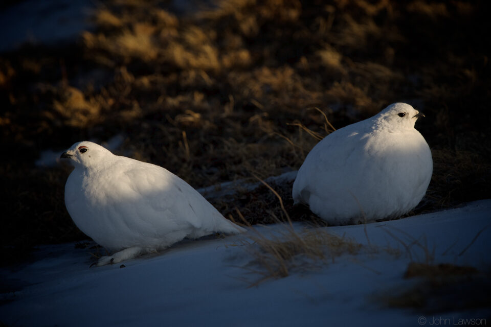 White-tailed Ptarmigan ISO 900 f_5.6 1_1000s 400mm
