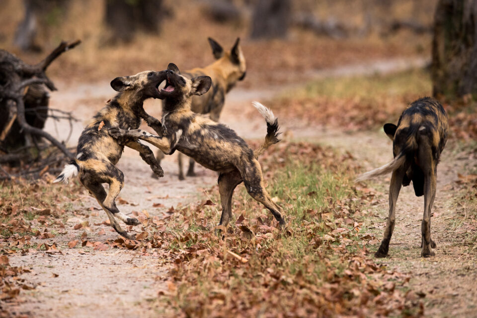 Wild Dog Puppies At Play