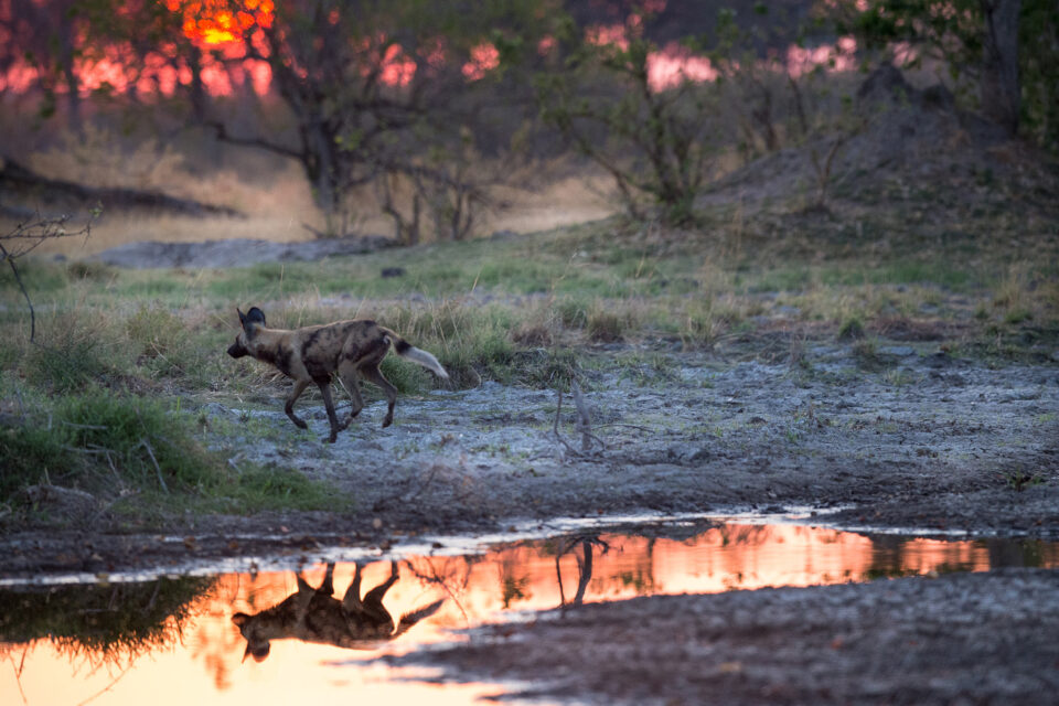 Wild Dog Sunrise
