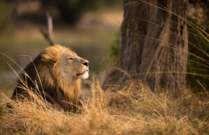 Windblown Male Lion