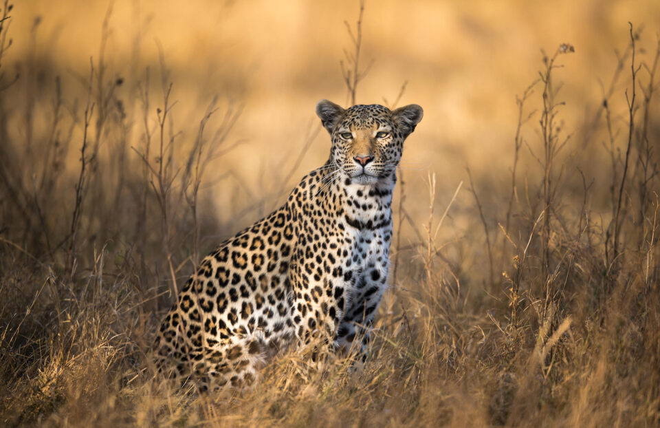 Young Female Leopard in the Tall Grass