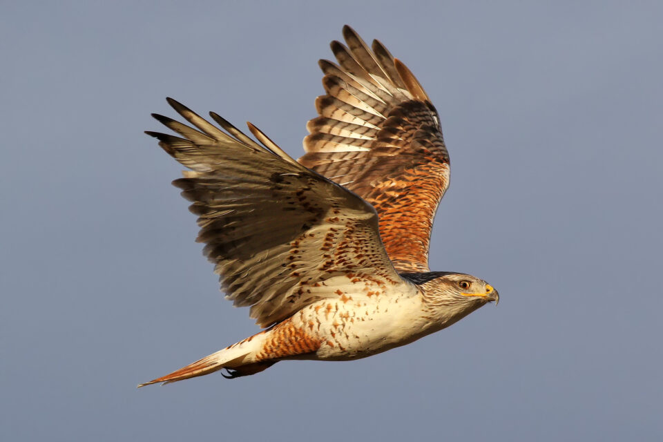 Ferruginous Hawk (1)