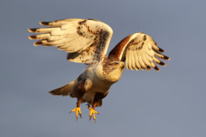 Raptor Photography