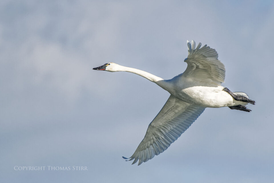 tundra swan in flight image 1