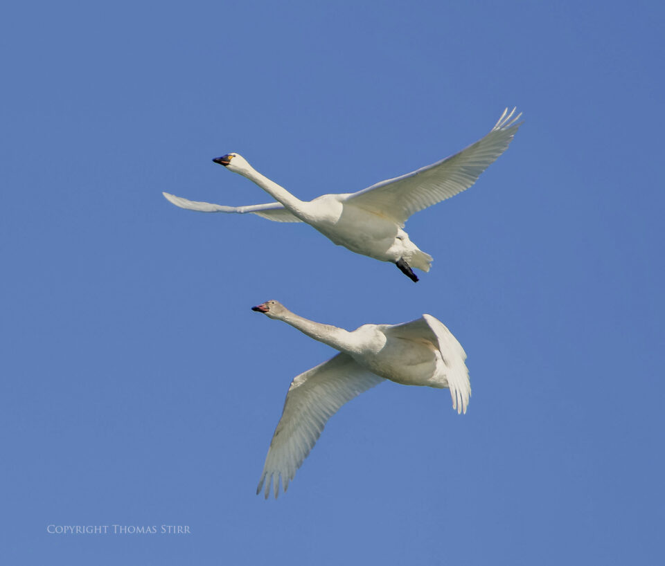 tundra swan in flight image 3