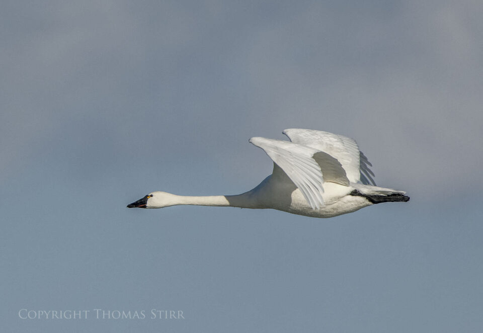 tundra swan in flight image 4