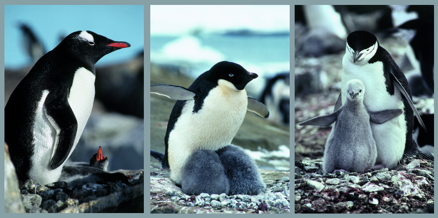 Three Penguin Species