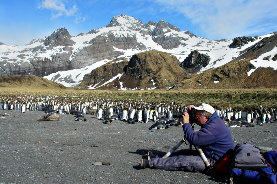 Capturing Gold Harbors King Penguin Colony