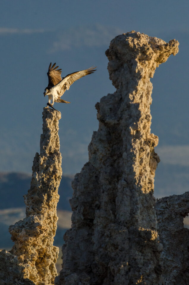 Verm-osprey-on-tufa-Mono-Lake-1846
