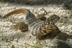 Tips for Photographing Small Lizards